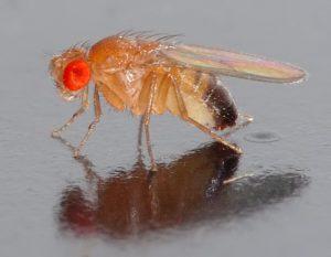 Drosophila_melanogaster_-(aka) - Wikimedia