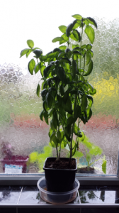 Basil recovered from damping off