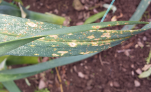 Rust fungus on our leeks