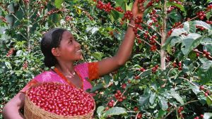 Coffee red cherry picking in Borneo (from Powering Agriculture)